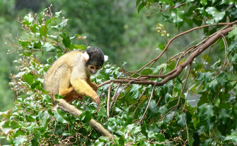 Auckland zoo monkeys