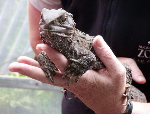 Auckland Zoo tuatara