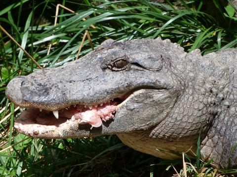Auckland Zoo alligator