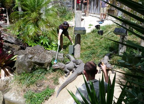 Auckland Zoo alligator feeding