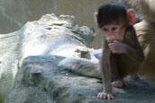 Auckland zoo baboon