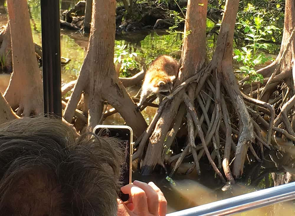 Racoon selfie on our swamp tour