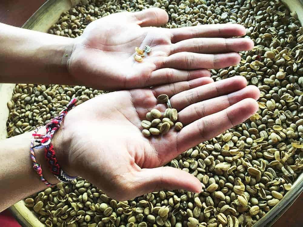 Coffee beans Ubud