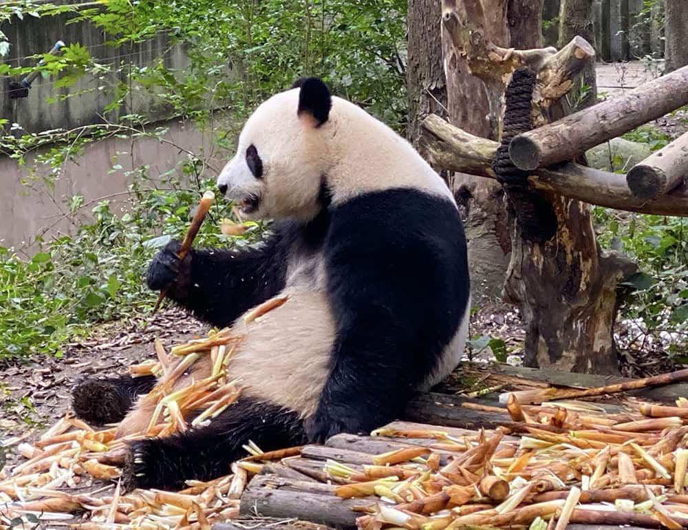Panda eating bamboo shoots in Chengdu panda base China