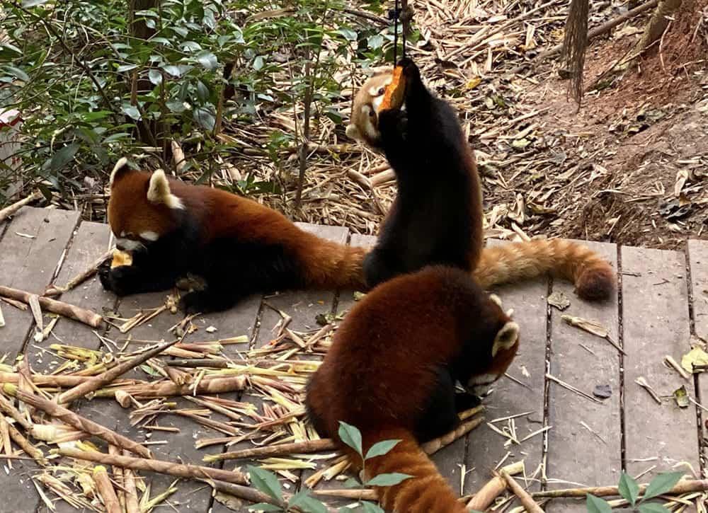 Red pandas eating pumpkin at Chengdu panda base