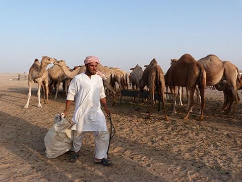 Abu Dhabi camel farm