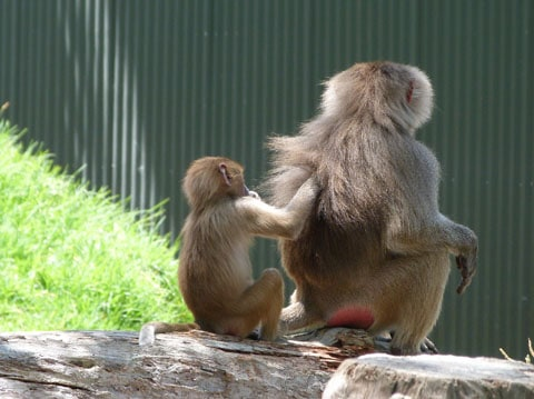 Auckland Zoo baboons