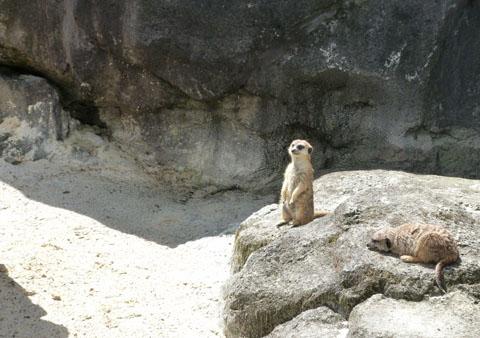 Auckland Zoo meercats