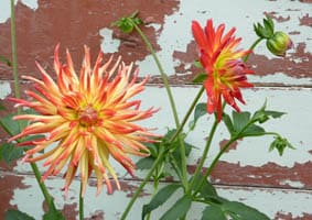 Look at these dahlias!