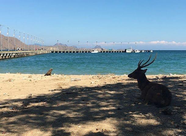 Deer on beach at Komodo island