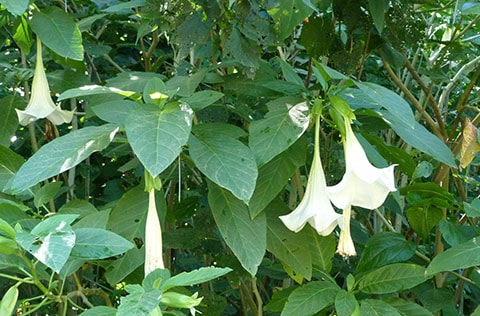Angels Trumpet, New Caledonia