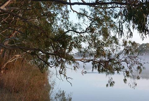 Murray River pelican