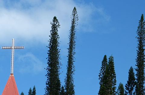 araucaria trees, Isle of Pines